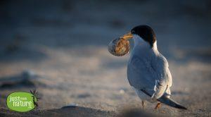 Top 100: 2016 Audubon Photography Awards - Least Tern, Sandy Point State Reservation, Plum Island, MA