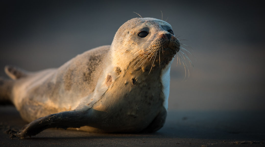Grey Seal, Sandy Point State Reservation, Plum Island, MA