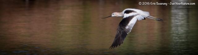 American Avocet, Parker River NWR, Plum Island, MA