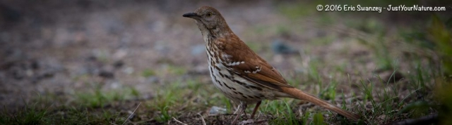 Brown Thrasher, Halibut Point State Park, Rockport, MA