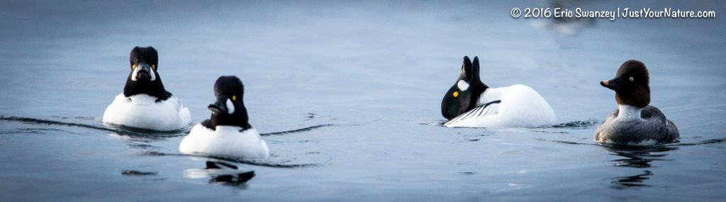 Common Goldeneye, Bass Rocks, Gloucester, MA