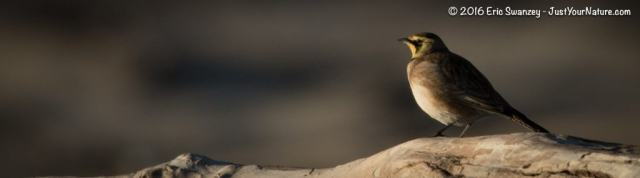 Horned Lark, Sandy Point State Reservation, Plum Island, MA