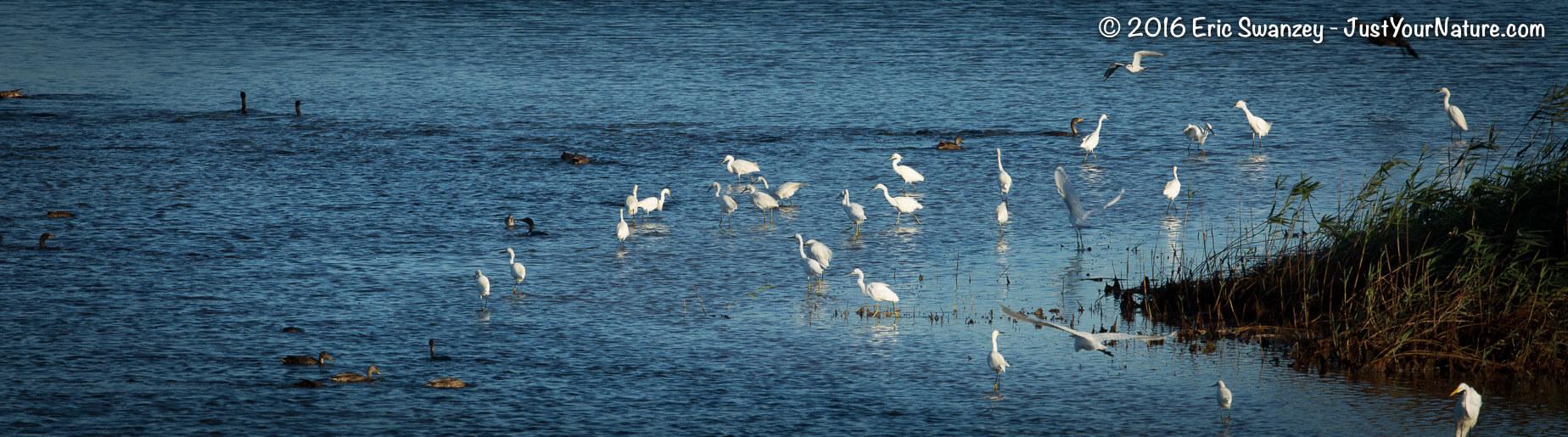 Snowy Egret, Parker River NWR, Plum Island, MA