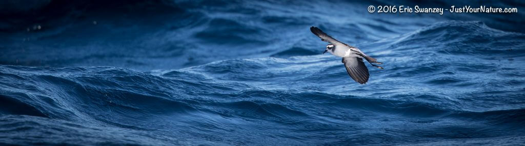 White-faced Storm-Petrel, Georges Bank