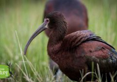 White-faced Ibis, Causeway Field, Manchester-by-the-Sea, MA