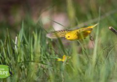 Yellow Warbler, Waring Field, Rockport, MA