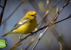 Blue-winged Warbler, Martin H. Burns WMA, Newbury, MA